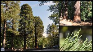 Les sequoies gegants de Santa Fe del Montseny