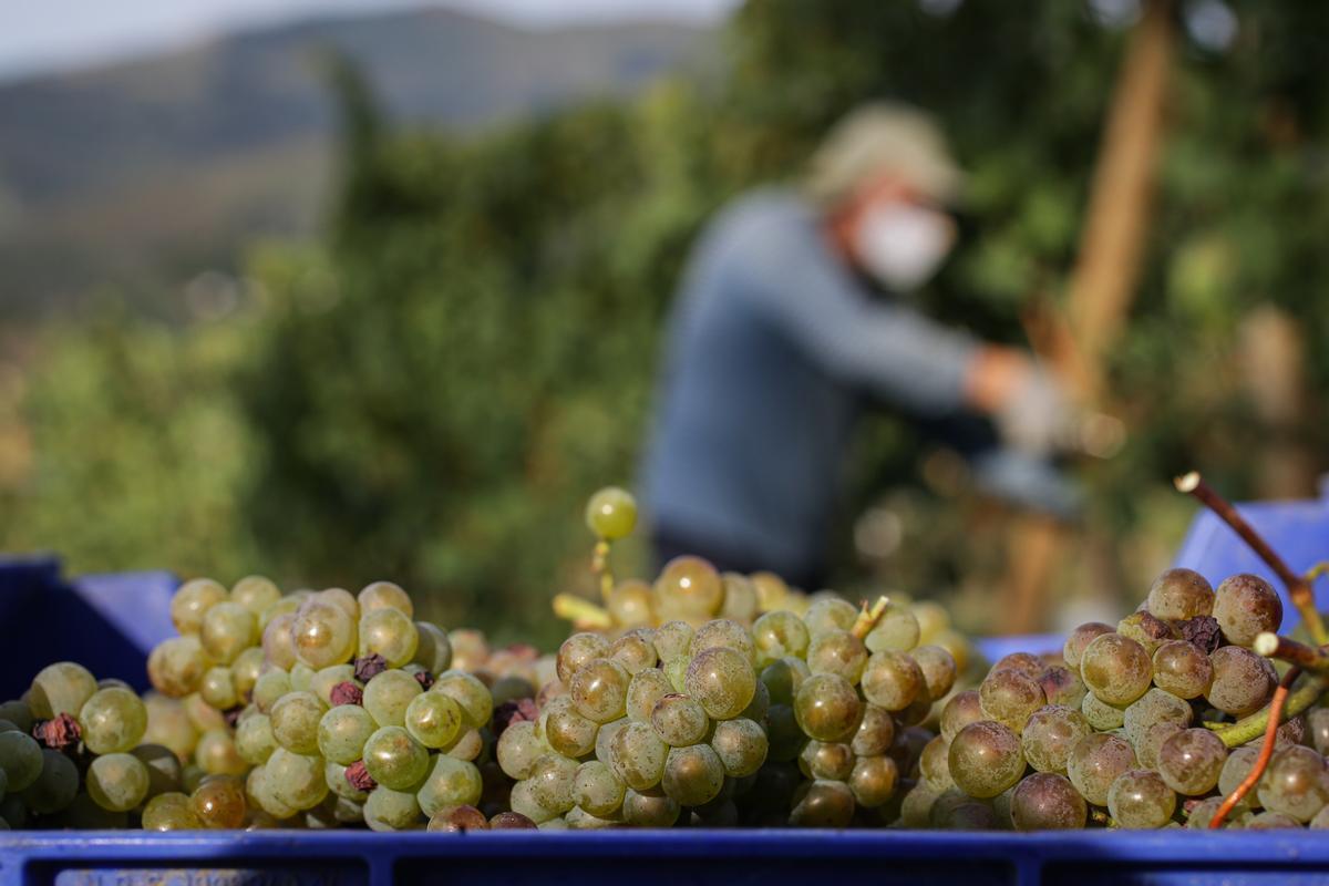 Cestos de uvas recogidos por trabajadores de la Bodega Txabarri durante la vendimia el pasado septiembre.