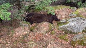 Plano del lugar donde se ha encontrado muerto al oso Cachou, en la zona de Soberpera, en el municipio de Les, en el Pirineo leridano.