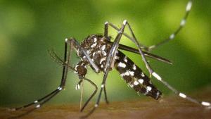 Un mosquito tigre o 'Aedes albopictus, insecto originario de Asia cuyas poblaciones se han consolidado en varios países del sur de Europa. Es un vector potencial de transmisión de enfermedades como el dengue o el chikungunya.