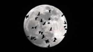 La luna llena cubierta por una bandada de pájaros que sobrevuelan Roma, el 30 de enero.