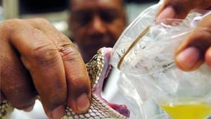 Extracción de veneno de una serpiente de cascabel.