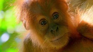 Una cría de orangután, en las selva de Borneo, donde el camarógrafo se jugó literalmente la piel.