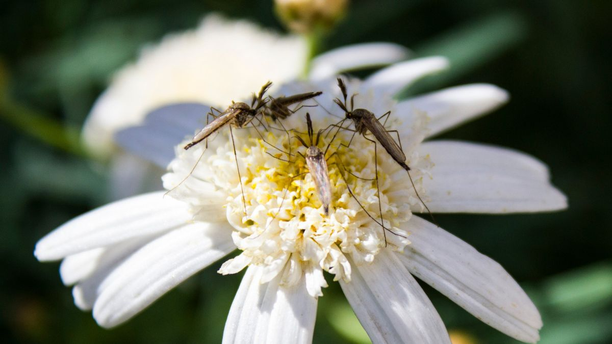 Mosquitos y otros insectos en una flor silvestre.