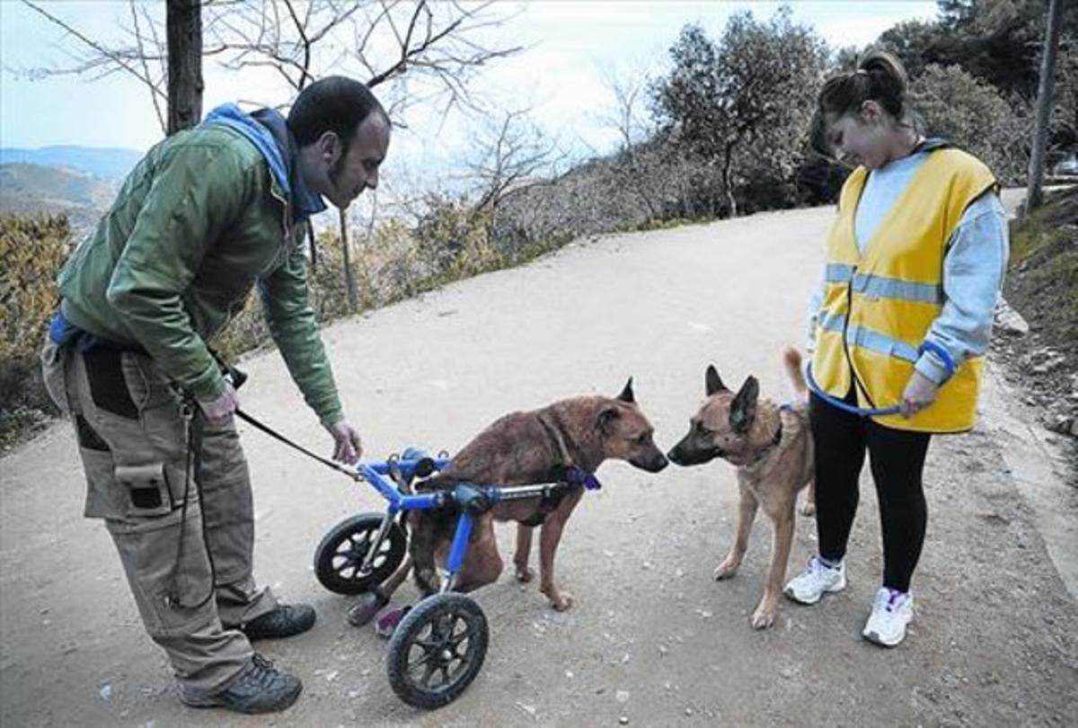 Un cuidador de la perrera de Barcelona pasea el pasado enero a Brownie, un perro abandonado y atropellado que finalmente fue adoptado.