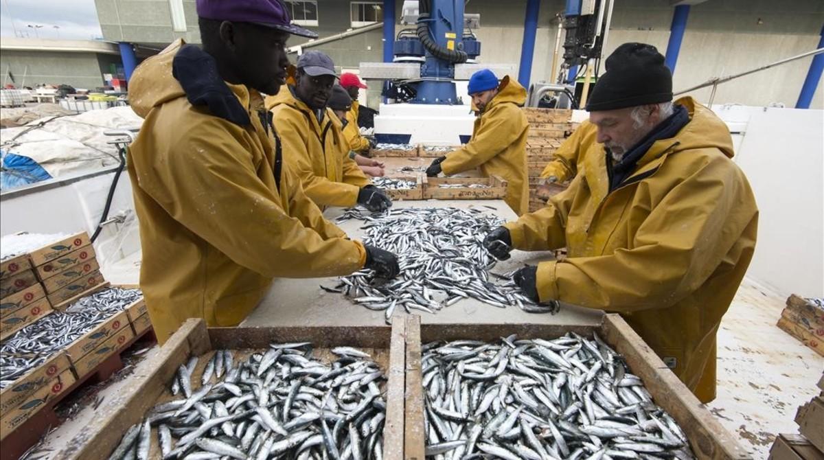 Pescadores de la barca L'Avi Juanito seleccionan las capturas de pescado azul a su llegada al puerto de Tarragona.