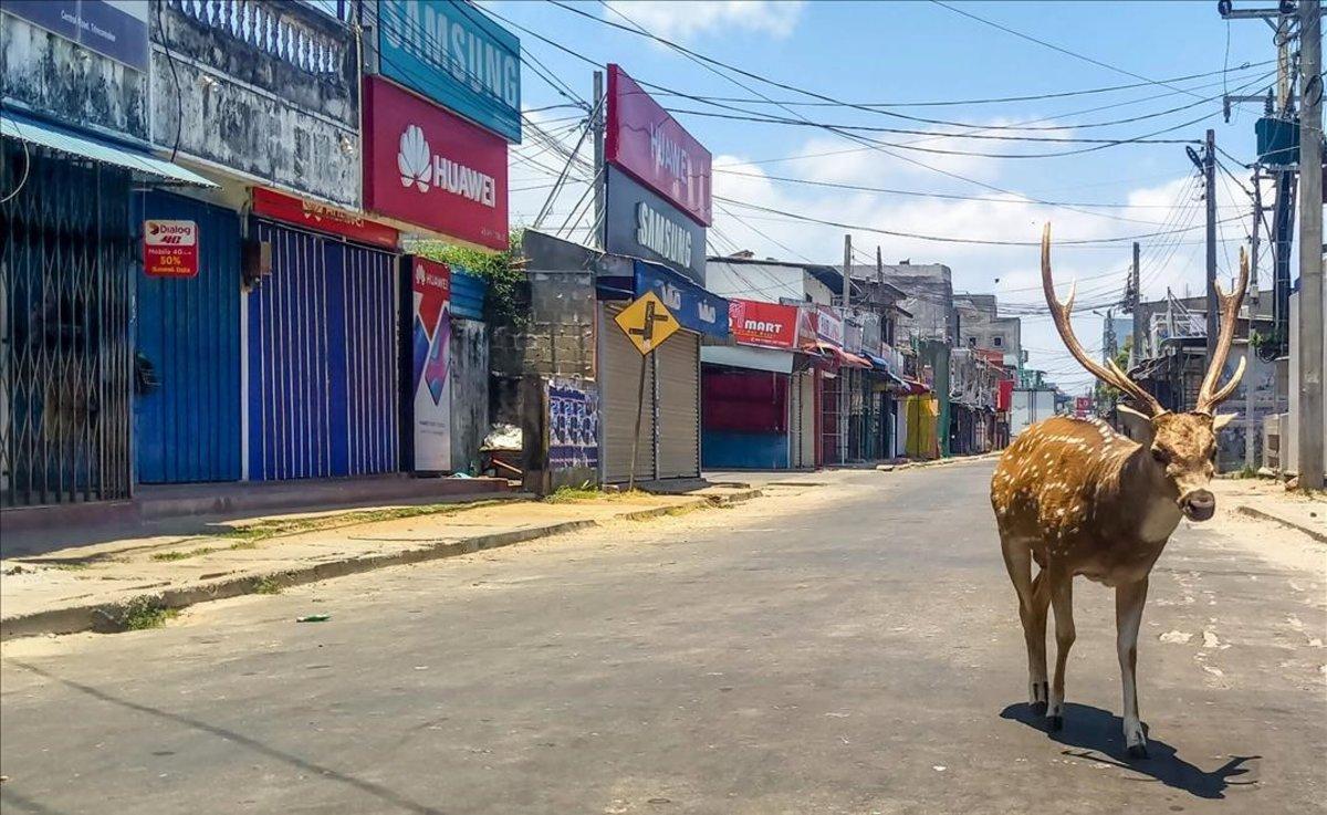 Un ciervo salvaje se pasea por las calles de Trincomalee, Sri Lanka.