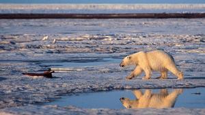 Un oso polar en una imagen de archivo.