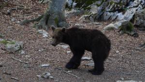 'Gioat', el oso liberado en el Pirineo catalán en el 2016.