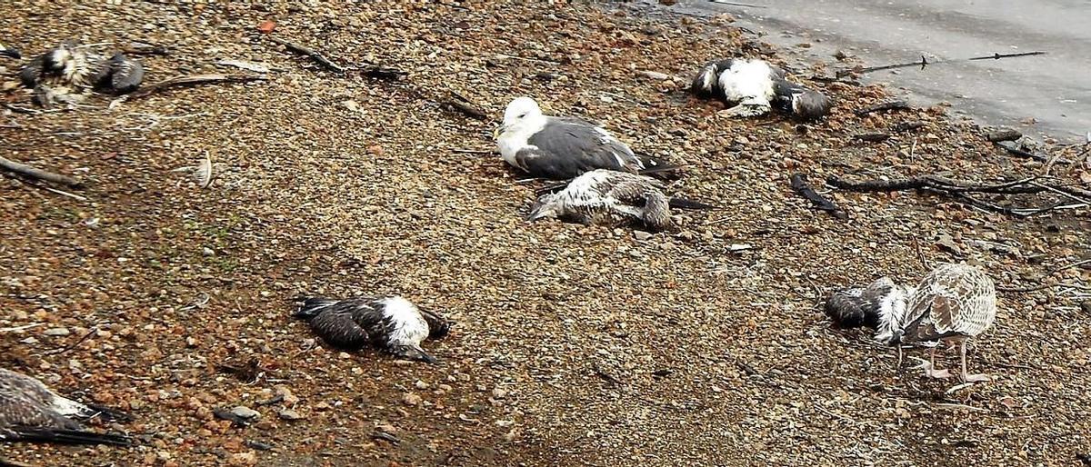 Gaviotas moribundas, ya en descomposición o enfermas aparecidas en Vilagudín hace días.