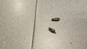 Dos de estos insectos muertos en la comisaría de Mossos de Balaguer.