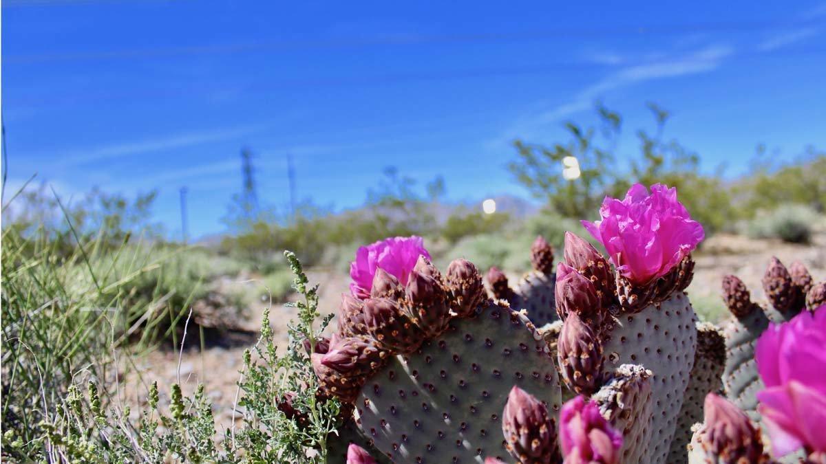 Els panells solars amenacen la supervivència de les plantes del desert