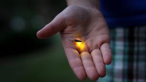 El brillo de las luciérnagas, también conocido como bioluminiscencia, se produce debido a una reacción química dentro de sus cuerpos