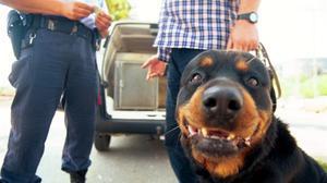 Un perro rottweiler con su dueño.