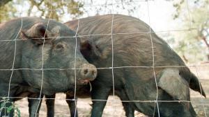 Els últims secrets del porc