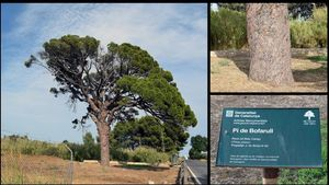 El pino de Bofarull, cerca del aeropuerto de Reus.