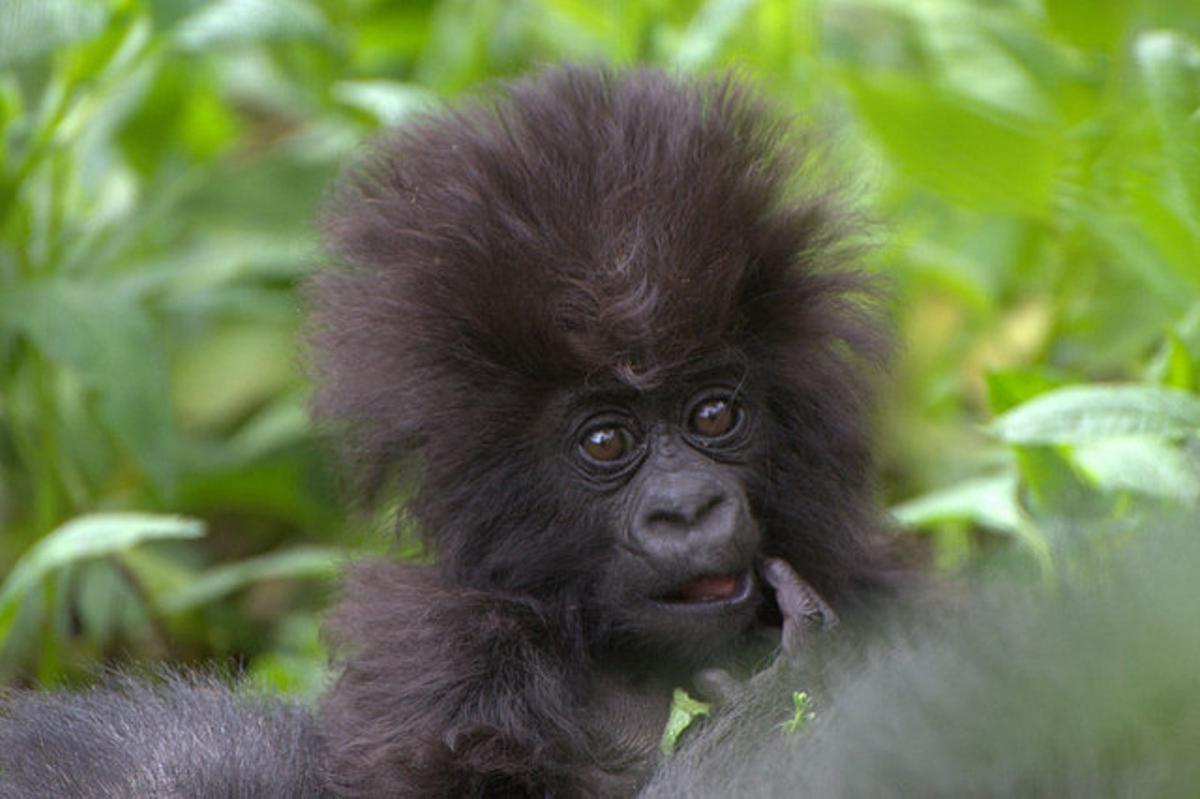 Un gorila de montaña recién nacido, en el Parque Nacional de los Volcanes de Ruanda.