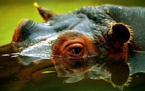 Mor un turista taiwanès al ser mossegat per un hipopòtam