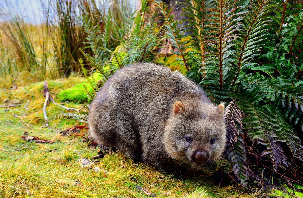 Un wombat, especie autóctona de Australia