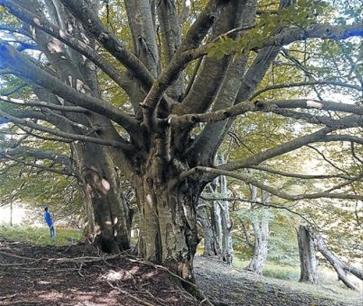Dos dels faigs centenaris dels Graus, a Ripoll, amb troncs que superen el metre de diàmetre.