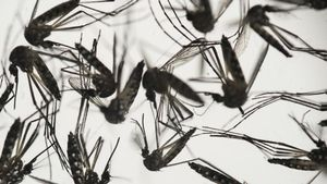 Ejemplares del mosquito Aedes, transmisor del virus del zika.