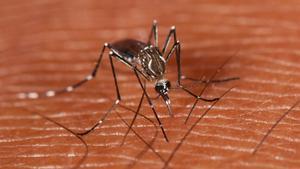 Ejemplar de mosquito de la fiebre amarilla o 'Aedes aegypti'.