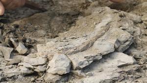 Trobat un fòssil d'una costella de vaca marina de fa 42 milions d'anys a Folgueroles