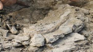 El fósil encontrado en Folgueroles (Osona) de una costilla de vaca marina rodeado de piedras.