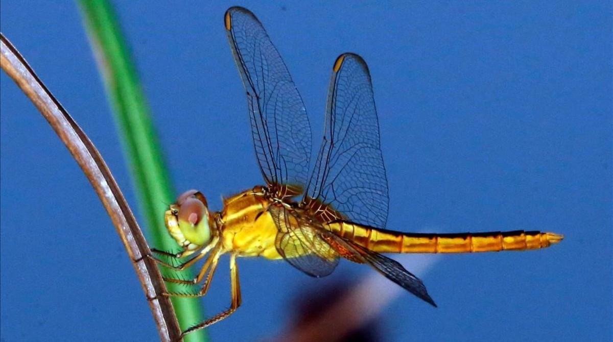 Una libélula asiática.