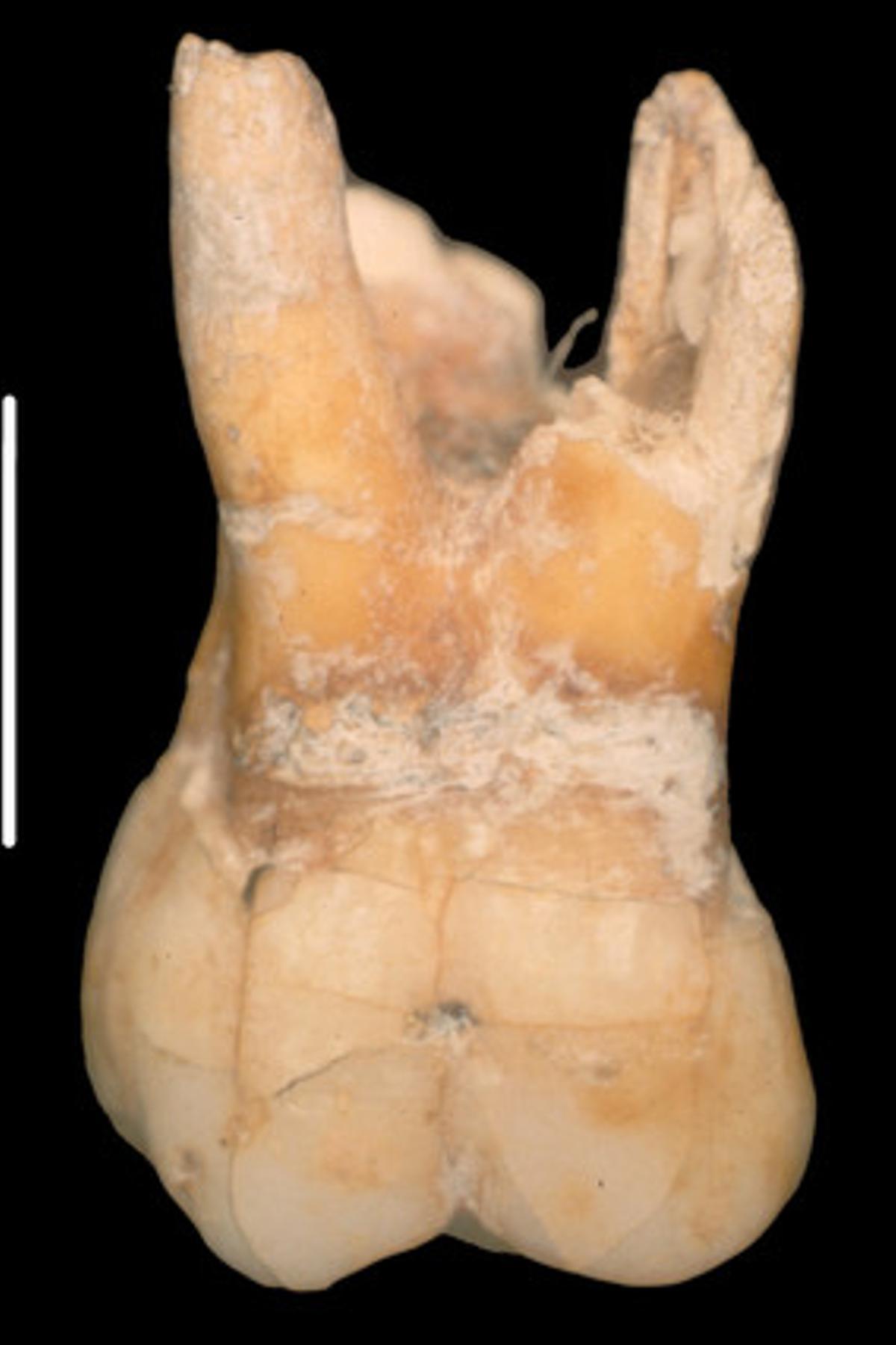 El molar del chico neandertal, de 215.000 años.