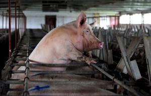 Científics aconsegueixen 'ressuscitar' cervells de porcs morts quatre hores abans