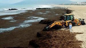Una alga asiàtica amenaça amb una crisi ambiental a l'estret de Gibraltar