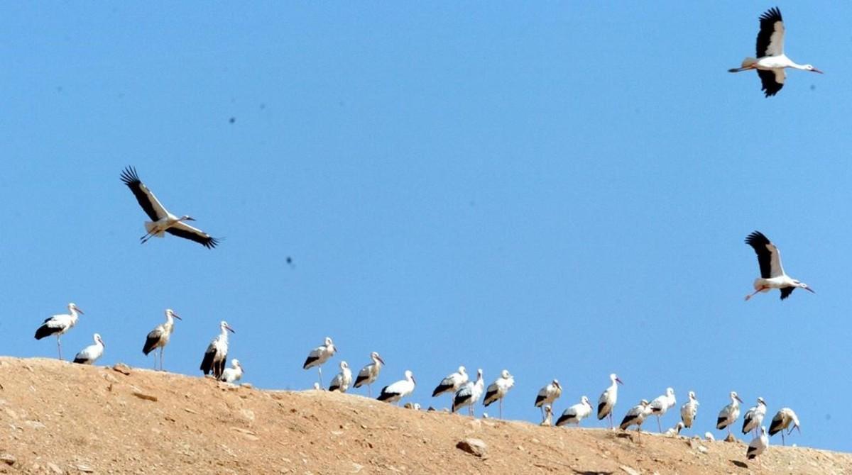 Cigüeñas en el vertedero leridano de Montoliu, en una foto de archivo.