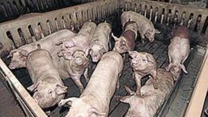 Una granja de cerdos.