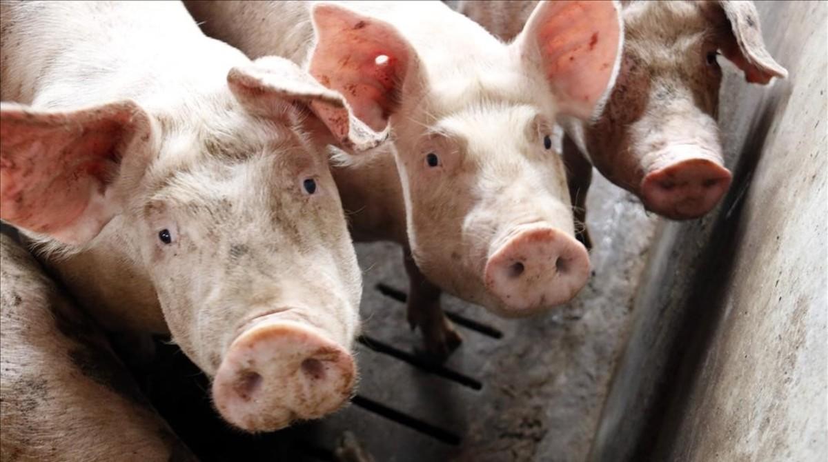 La insostenibilitat de tant porc