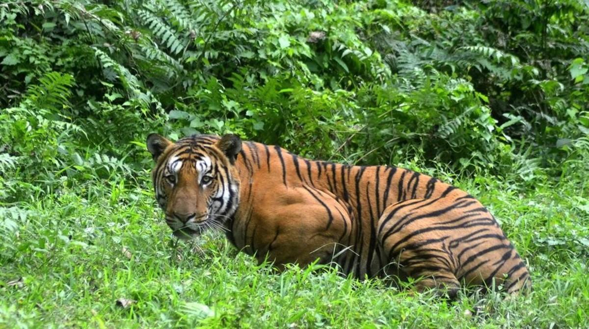 Un tigre de Bengala en el parque nacional de Kaziranga, en la India.