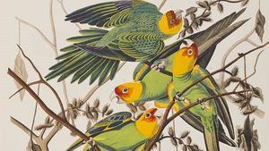 La cotorra de Carolina dibujada por Audubon.