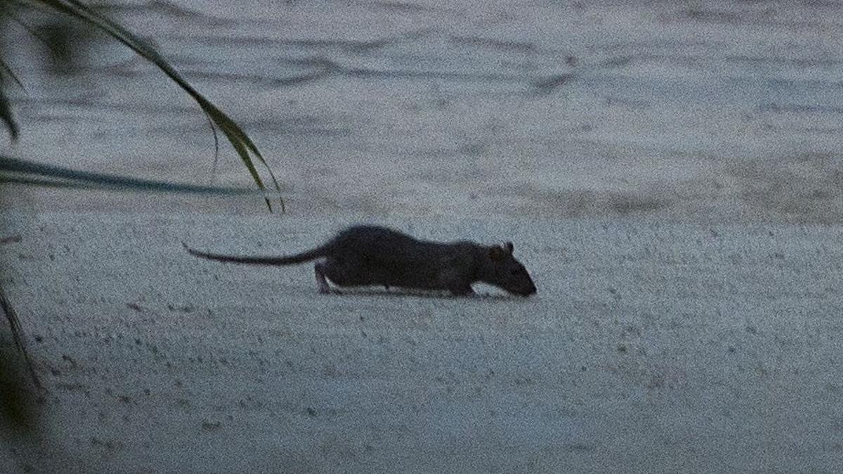 Una rata en el Parc de la Ciutadella, en agosto de 2018.