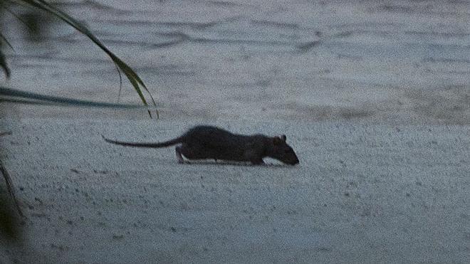 Aparece una rata de grandes dimensiones por el váter de un piso de la Barceloneta
