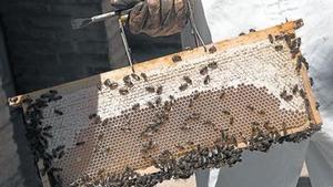 Las abejas, en plena actividad de fabricación de miel.