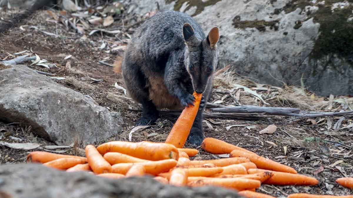 Australia lanza desde helicópteros miles de kilos de comida para los animales hambrientos.