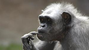 Vieja, ya anciana, en el Zoo de Barcelona.