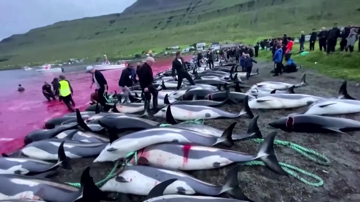 Más de 1.400 delfines muertos en una jornada de caza tradicional en las islas Feroe.
