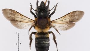Ejemplar de abeja gigante de la resina localizado en Catalunya.
