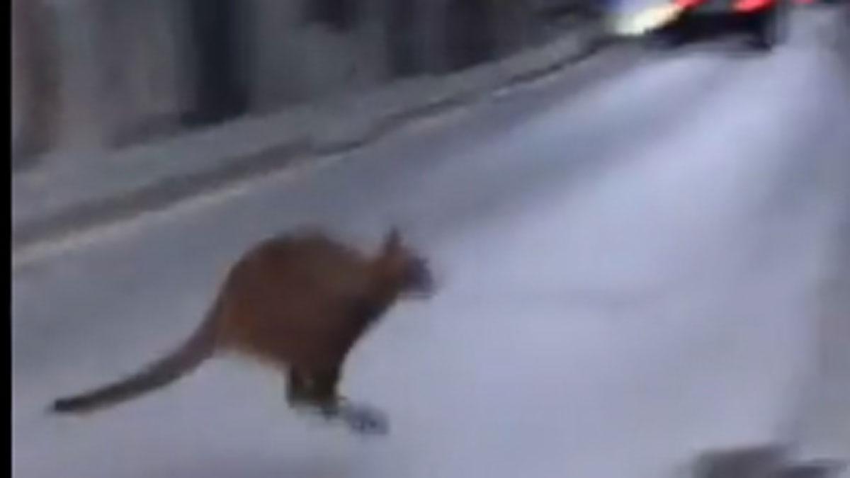 Un canguro por las cales de Roda de Ter.
