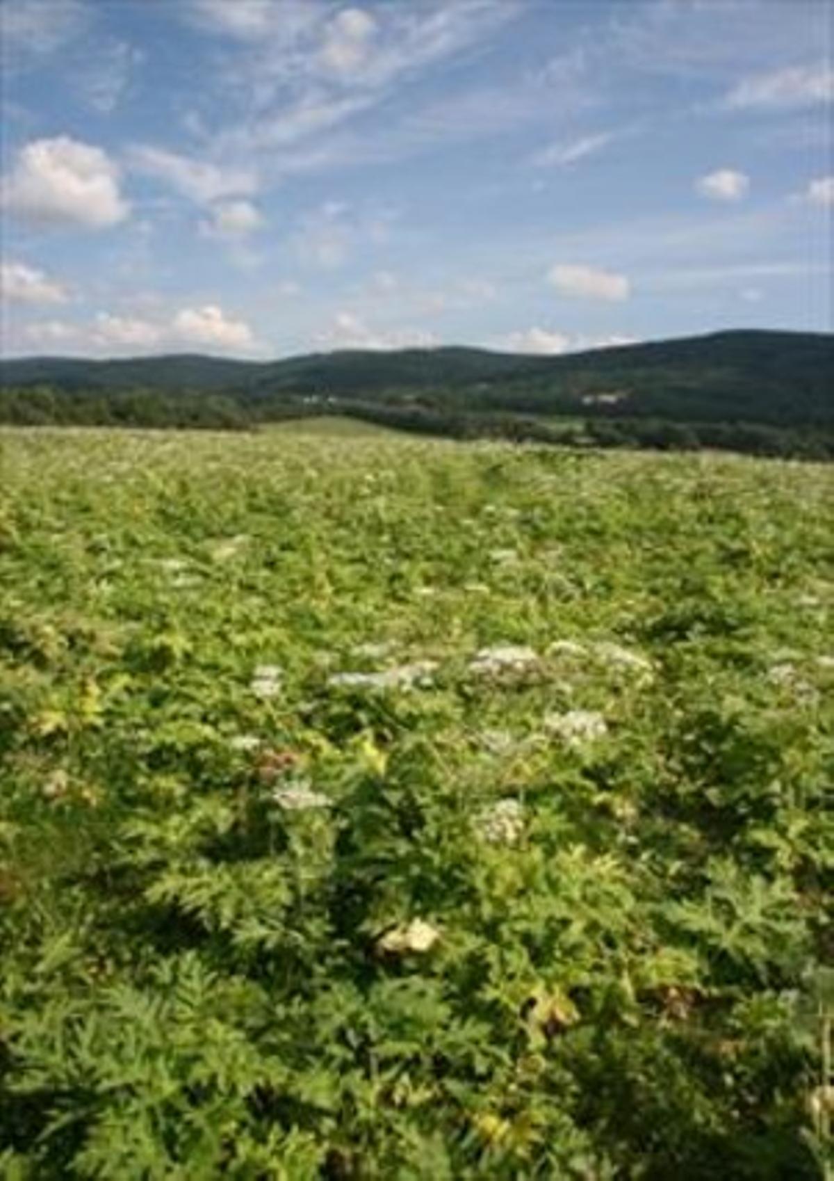 Campo de la República Checa cubierto de perejil gigante, una planta originaria del Cáucaso que ahora crece como invasora en buena parte de Europa central.