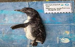Pingüino que murió tras ingerir una mascarilla N95.