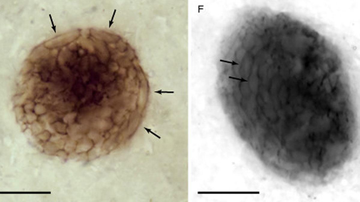 Dos imágenes del fósil Bicellum Brasieri.