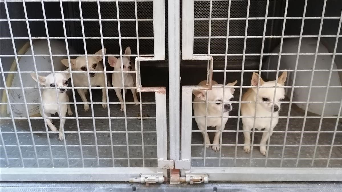 Los cinco perror chihuahua rescatados por la policía.