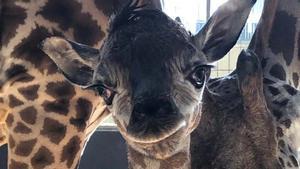 Nace una cría de jirafa en el Zoo de Barcelona.